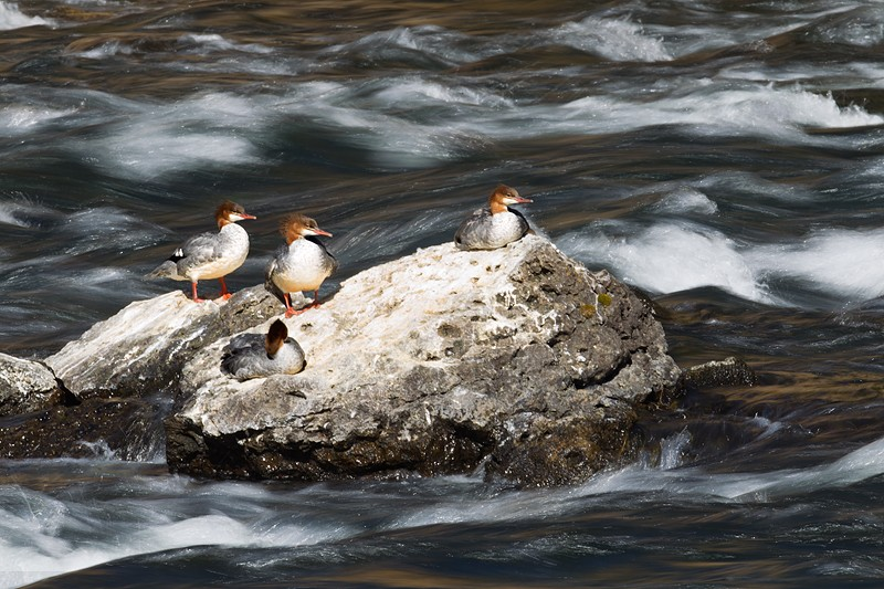 common-mergansers-on-rock-1-13-sec
