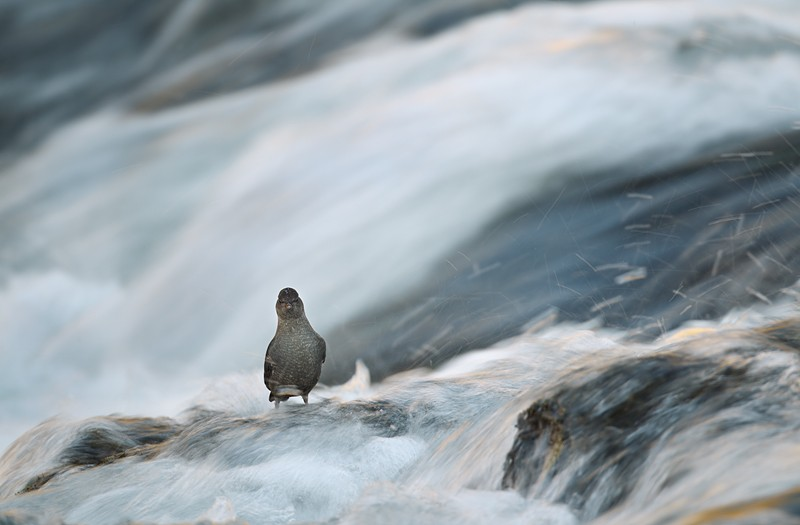 american-dipper-in-rapids-1-30-sec-robt_w3c0590yellowstone-national-park-wy_0