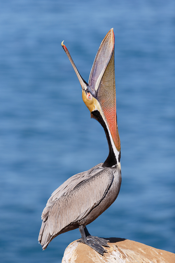 brown-pelican-head-throw-_y7o3211-lajolla-ca