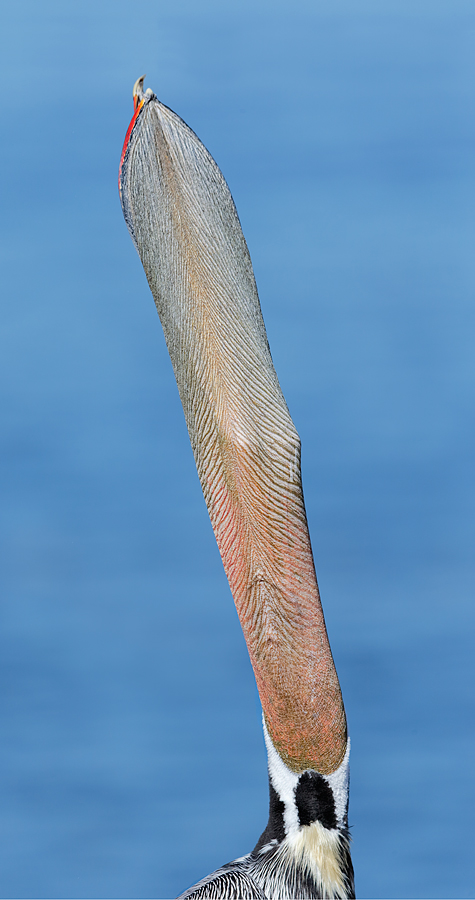 brown-pelican-head-throw-from-below-_y7o3180-lajolla-ca