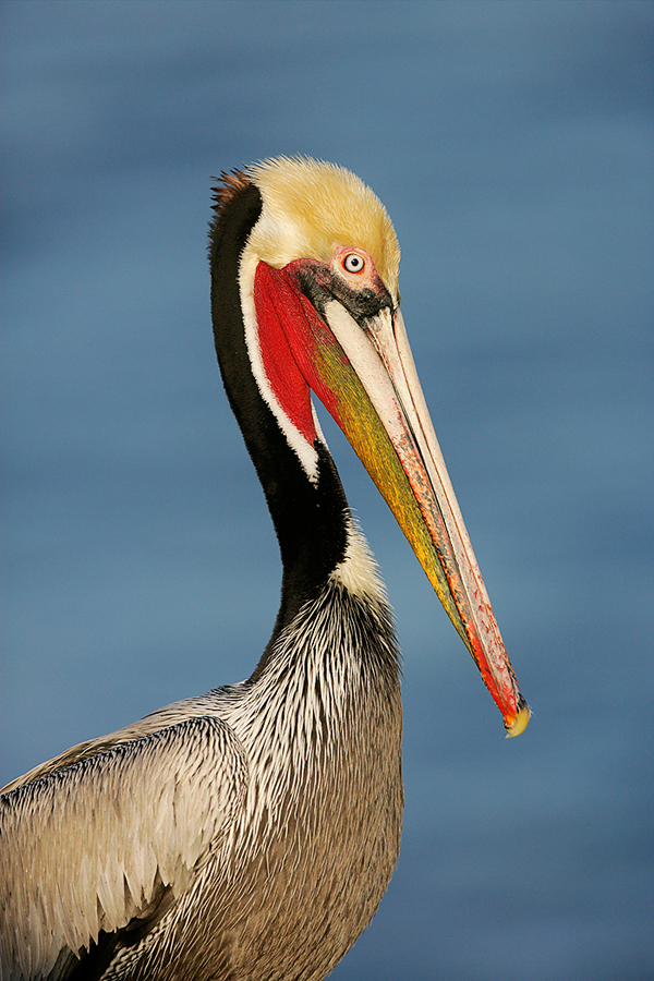 brown-pelican-stunnging-breeding-plumage-upper-half-portrait-_l8x9762-lajolla-ca