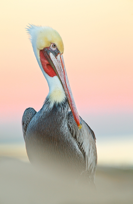 brown-pelican-in-peach-heaven-no-flash-_y9c8777-la-jolla-ca
