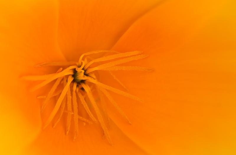 california-poppy-stamens-_a1c3533-morro-bay-ca