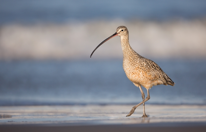 long-billed-curlew-from-ground-level-_a1c1886-morro-bay-ca