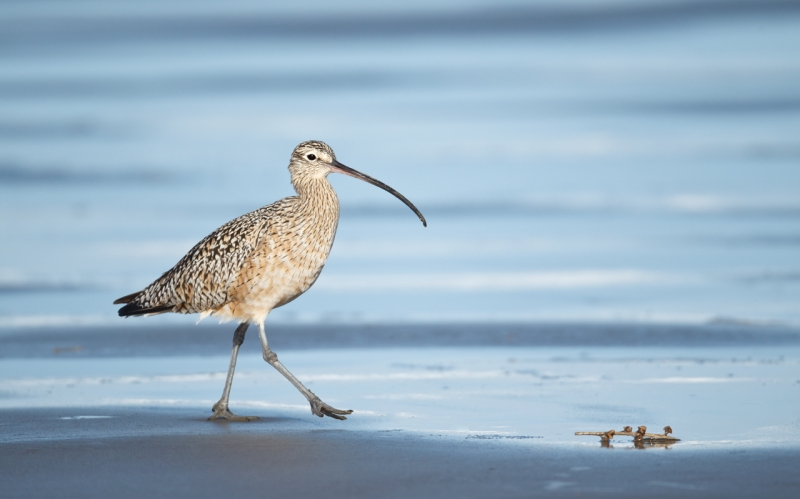 long-billed-curlew-striding-along-surf_y9c0126-morro-bay-ca