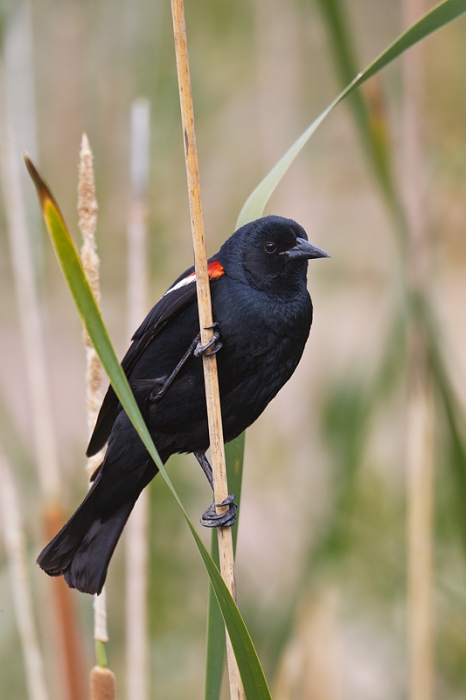 tricolored-blackbird-on-stalk-vertical-_y9c6811-jacumba-ca