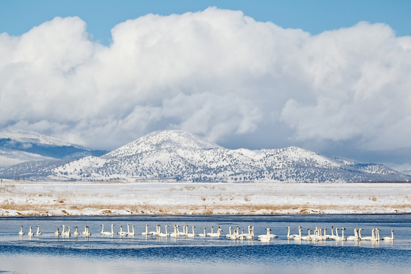 tundra-swans-in-pond-_y9c1965-lower-klamath-nwr-ca