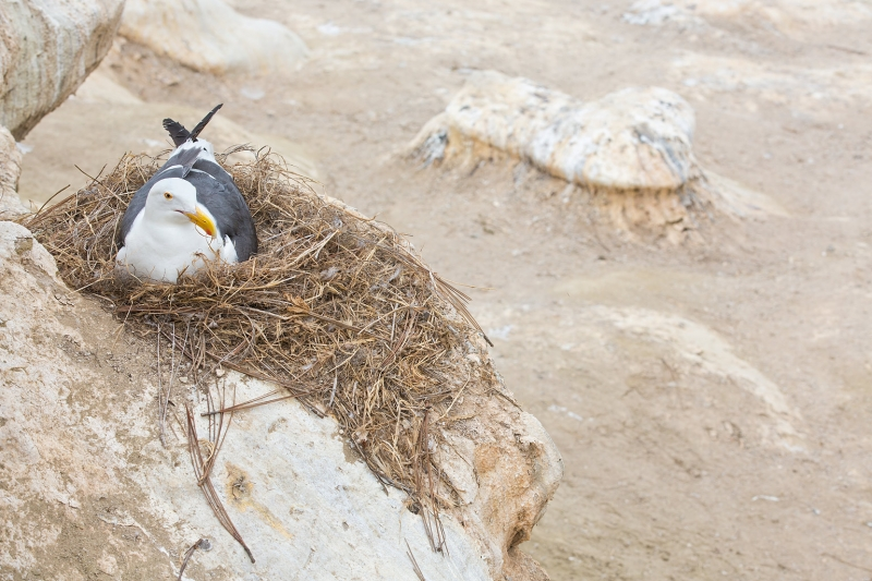 western-gull-on-nest-_a1c6568-la-jolla-ca