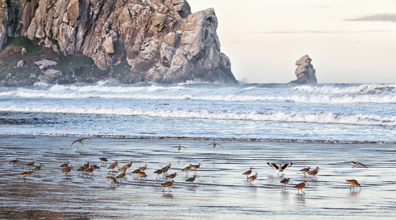 willets-marbled-godwit-flock-by-morro-rock-_y9c1584-morro-bay-ca