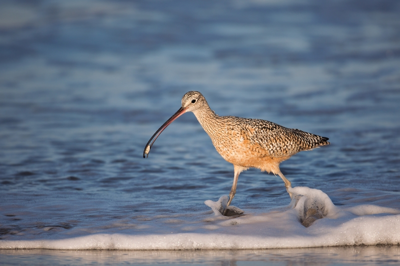 long-billed-curlew-with-sand-crab-_a1c1846-morro-bay-ca