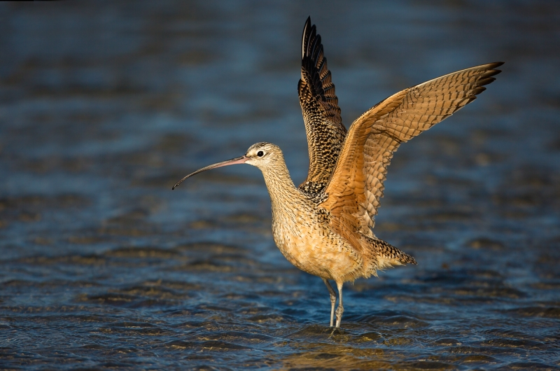 long-billed-curlew-with-wings-raised-after-bath-_a1c2406-morro-bay-ca