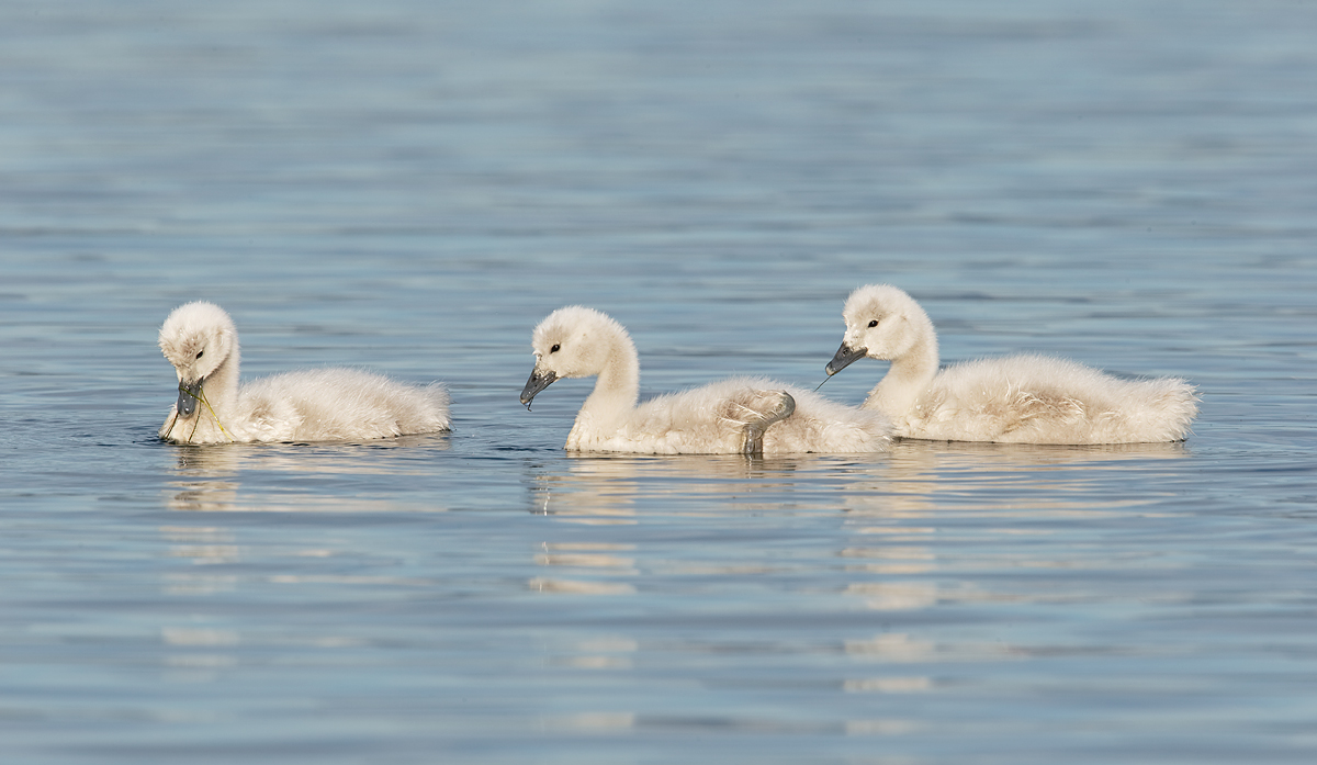 black-mecked-swan-cygnets-_y7o2779-puerto-natales-chile