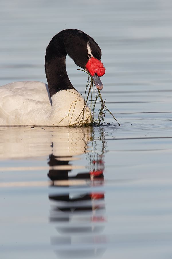 black-necked-swan-feeding-_y7o2854-puerto-natales-chile