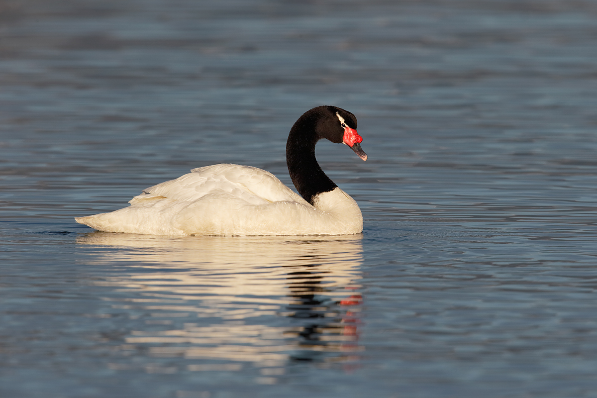black-necked-swan-swimming-_y7o2657-puerto-natales-chile