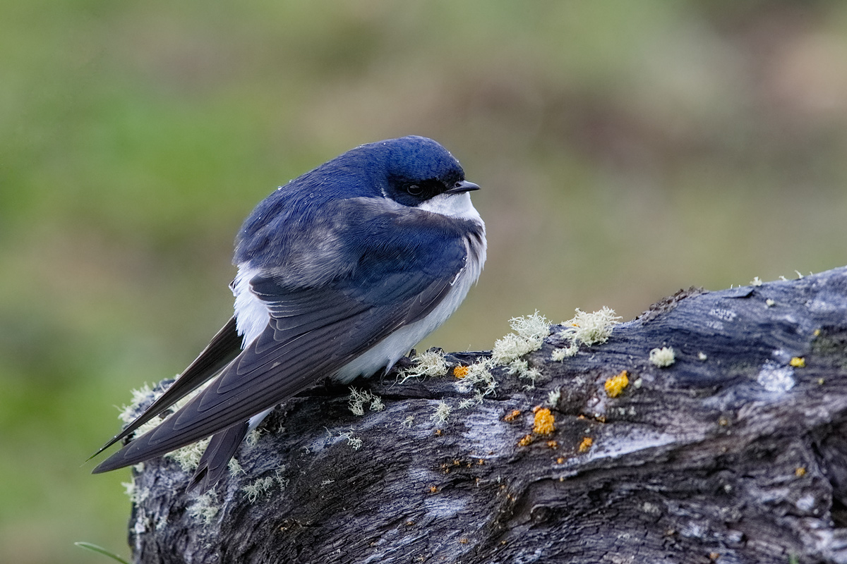 chilean-swallow-on-log-_y7o0773-south-of-puerto-natales-chile