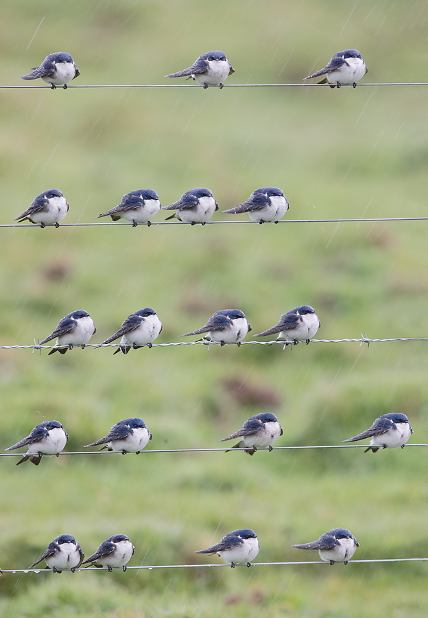 chilean-swallows-on-wire-fence-during-rain-_y7o0828-south-of-puerto-natales-chile