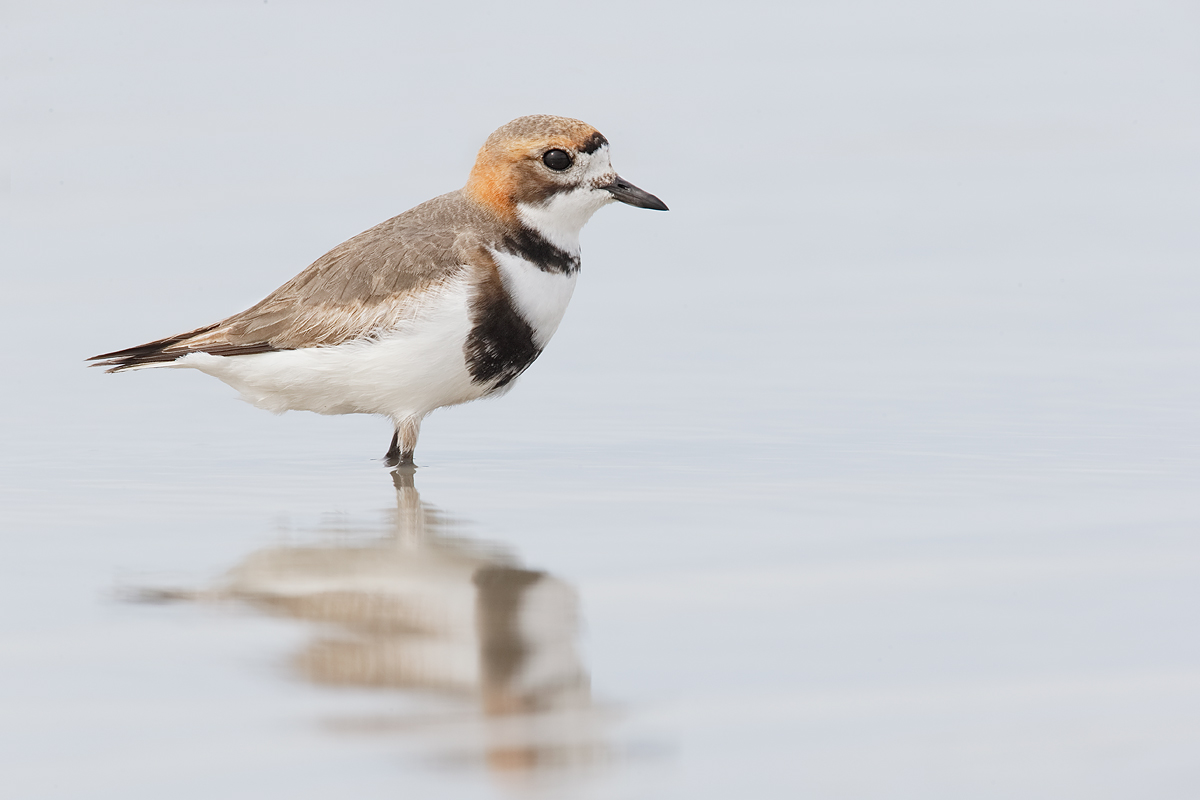 double-banded-plover-_y7o0478-morro-chico-steppe-chile