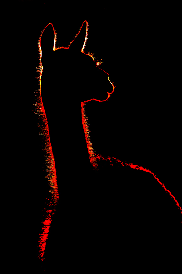 guanaco-backlit-looking-back-_y7o2804-torres-del-paine-national-park-chile