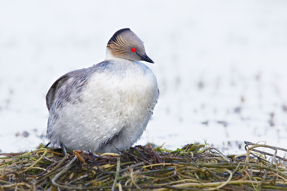 silvery-grebe-on-nest-_y7o2982-torres-del-paine-national-park-chile