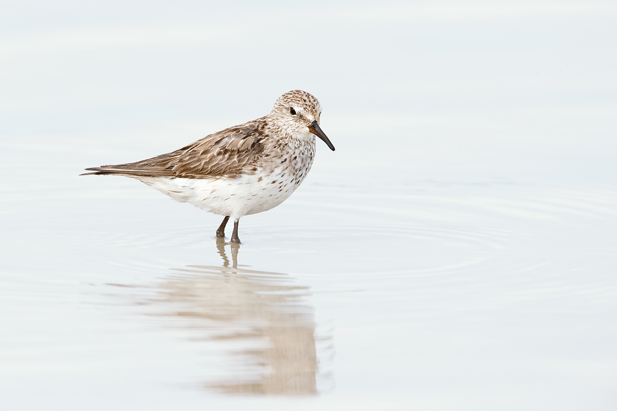 white-rumped-sandpiper-winter-plumage-adult-_y7o0459-morro-chico-steppe-chile