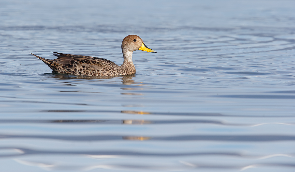 yellow-billed-pintail-_y7o2894-puerto-natales-chile