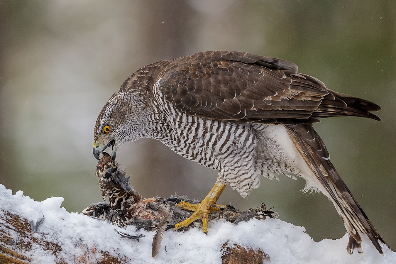 action_andy_trowbridge_goshawk_norway_1773_0