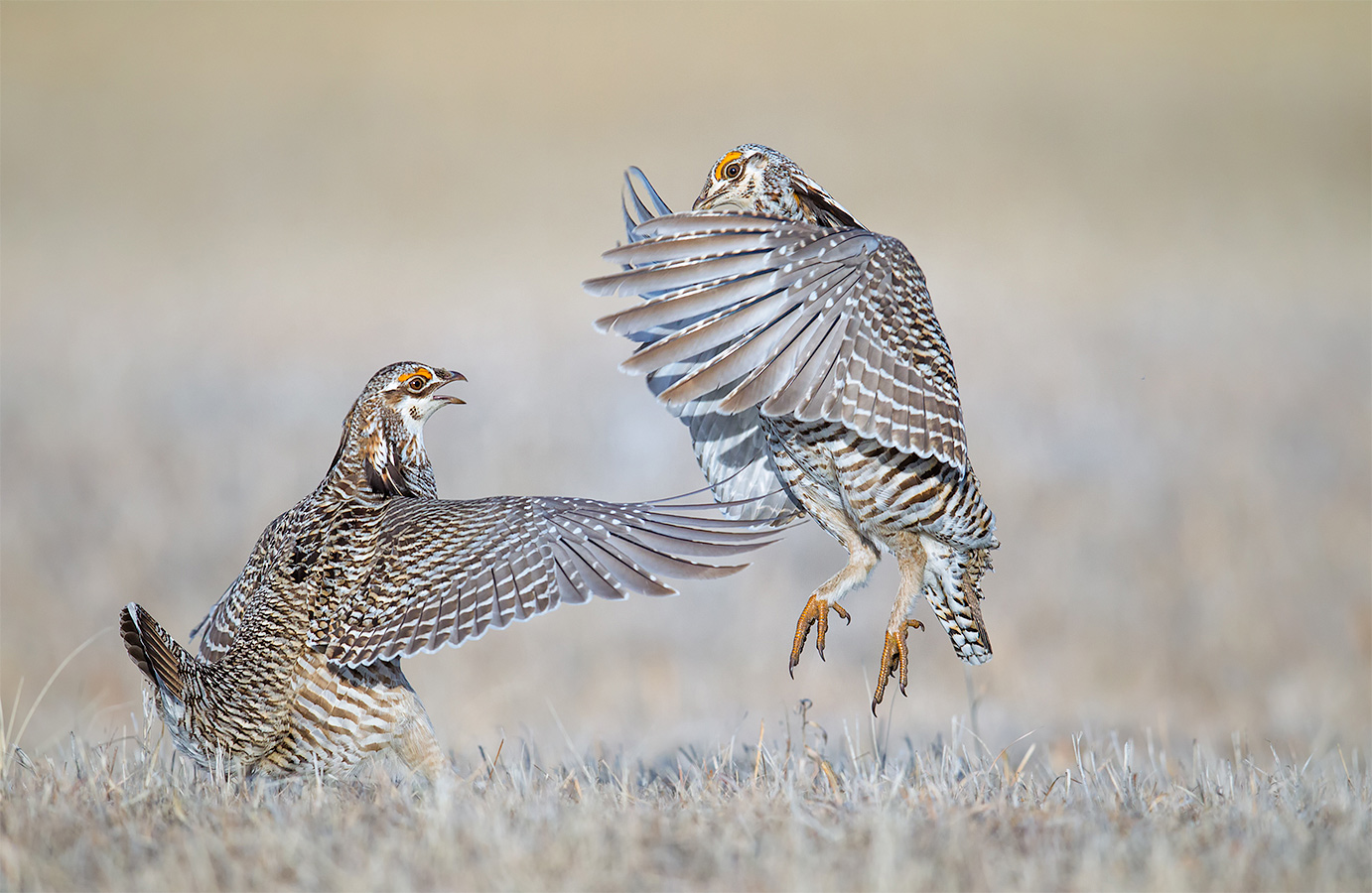 action_drneilson_sand-hills_prairie-chicken_0948_0