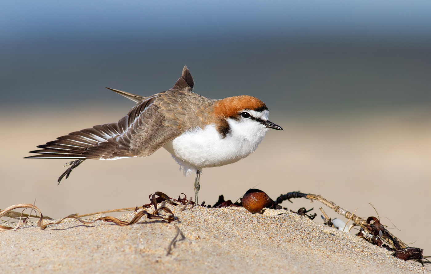 action_duadepaton-action-red-capped-plover-lake-conjolansw_0