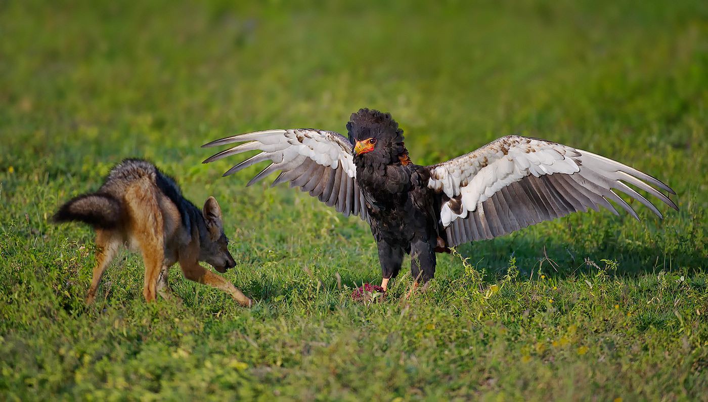 action_michael-viljoen-bateleur-defending-food-against-jackal-ndutu-10011_0