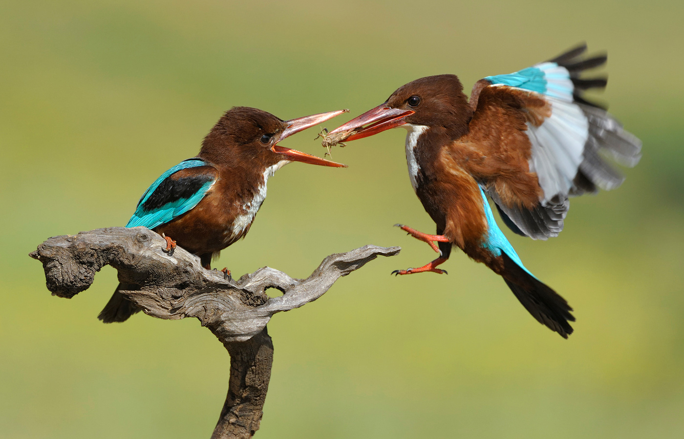 action_vladimir-michael-kogan_white-throated-kingfisher_israel_d3v8147_0