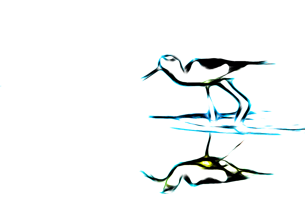 black-necked-stilt-aa