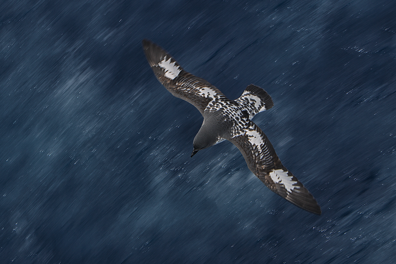 blurs_paul-mckenzie-capepetrel-southernocean
