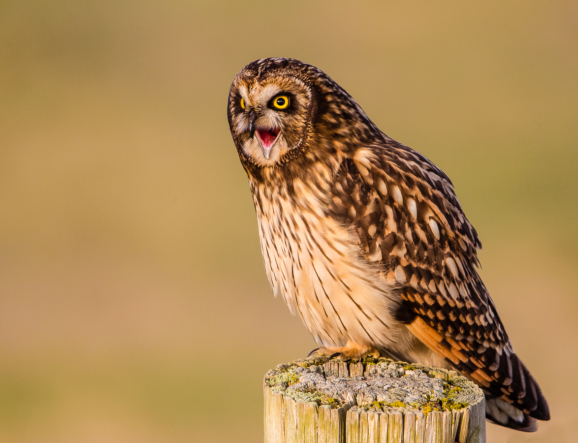 captive_doug-schurman-short-eared-owl-wa-6684