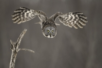 flight_pierre-giard_great-grey-owl-laval-quebec-2