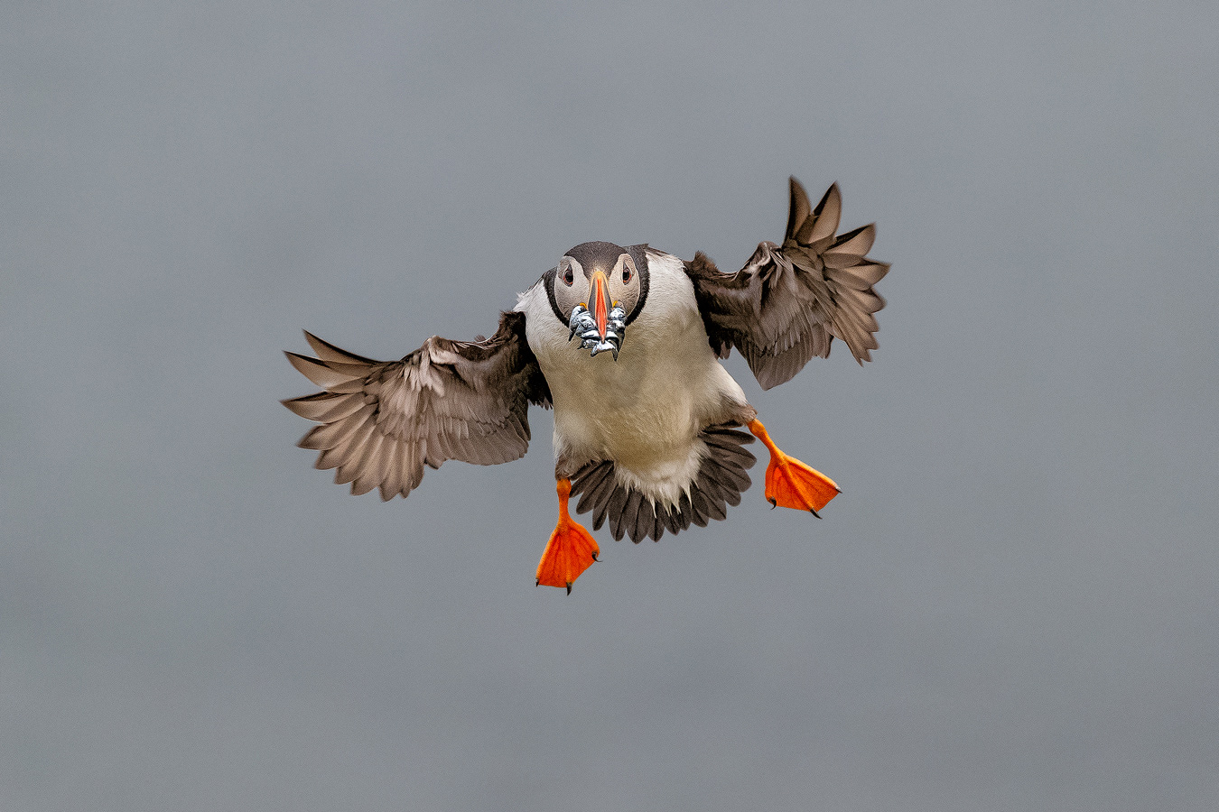 flight_andy_trowbridge_puffin_scotland_7611_0