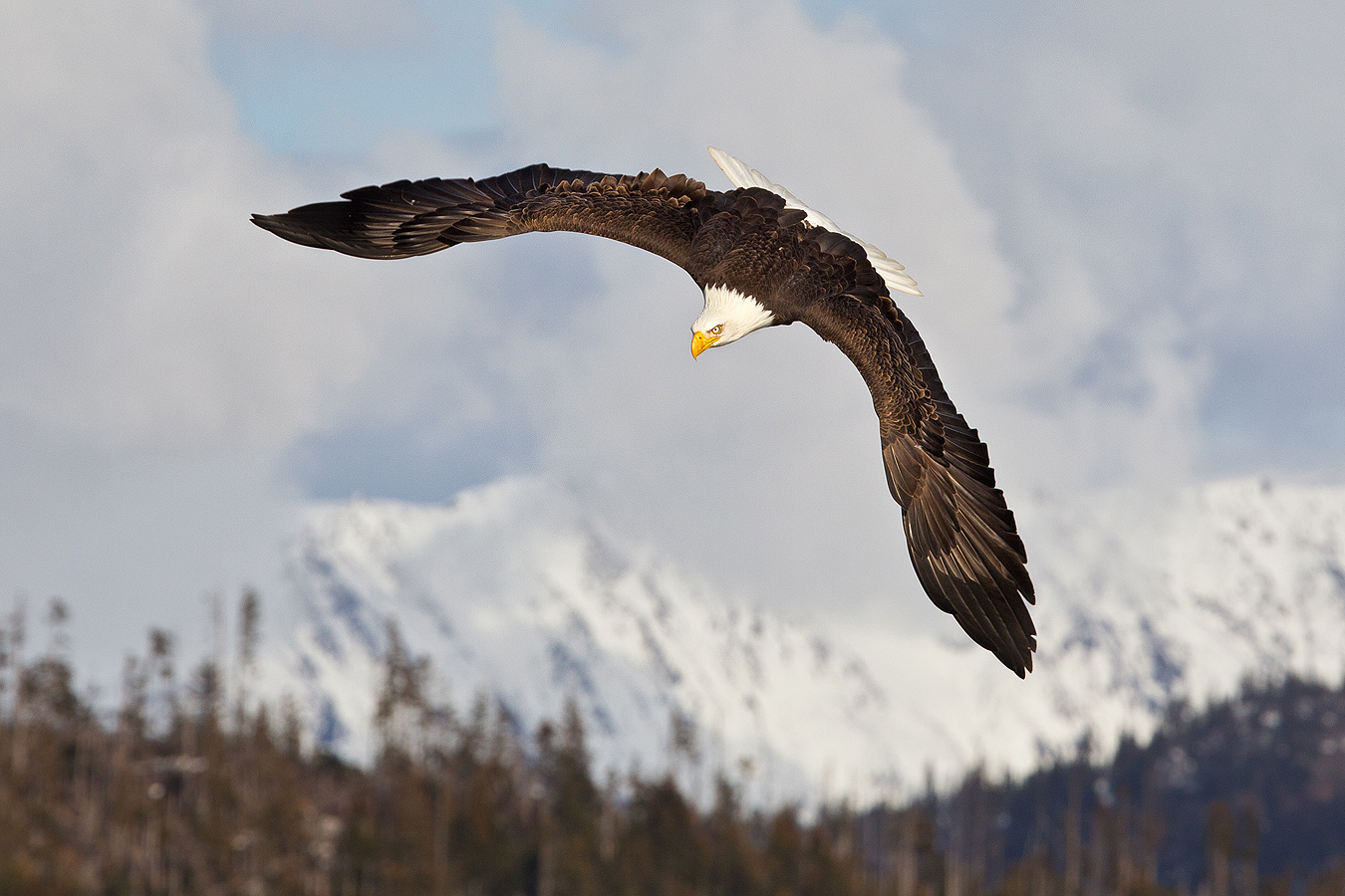 flight_clemens-vanderwerf-bald-eagle-top-view-with-mountain-bkgd_e07g6510-homer-ak_0
