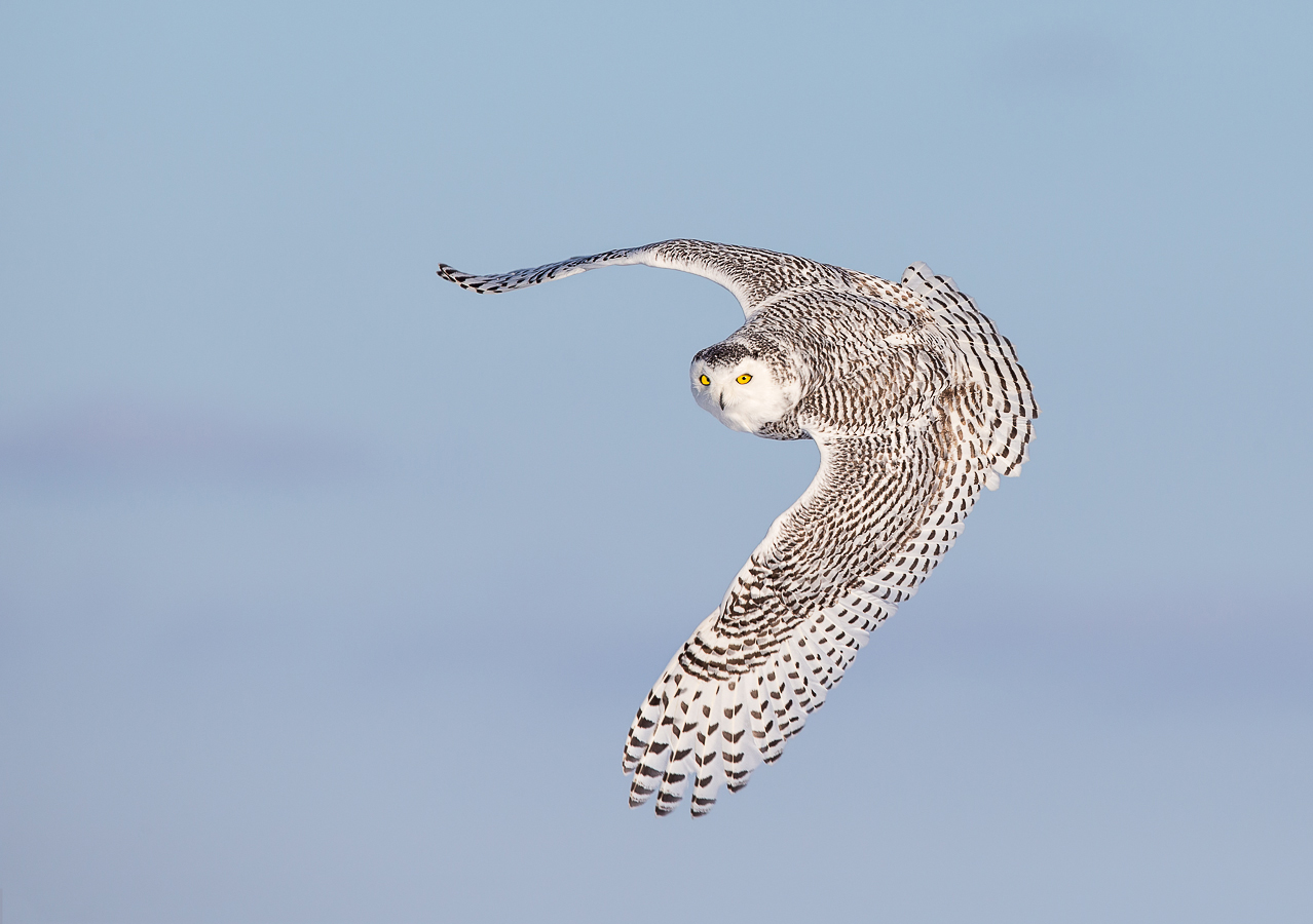flight_gail-marie-bisson-snowyowl-flight_f0t0203