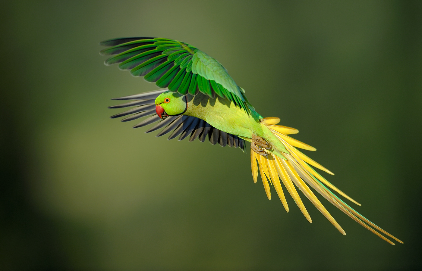 flight_vladimir-michael-kogan_rose-ringed-parakeet_israel_d3v7655