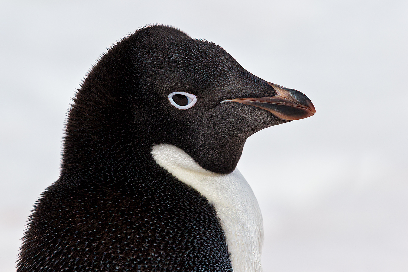 portrait_clemens-vanderwerf-adelie-penguin-head-portrait-against-white-snow_e7t4796-brown-bluff-antarctica