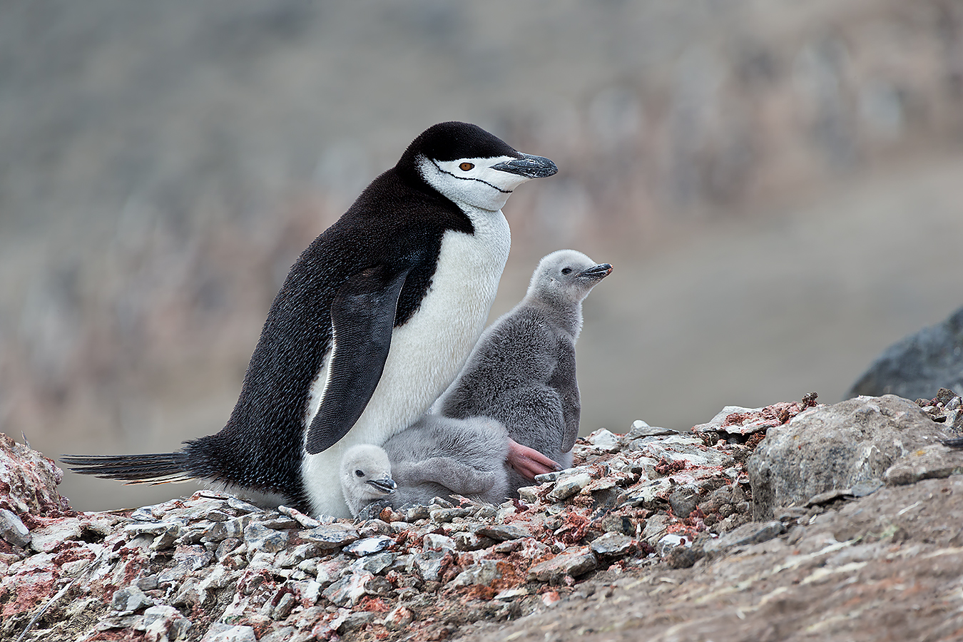 portrait_clemens-vanderwerf-chinstrap-penguin-with-two-chicks-on-nest_e7t4331-bailey-head-deception-island-antarctica