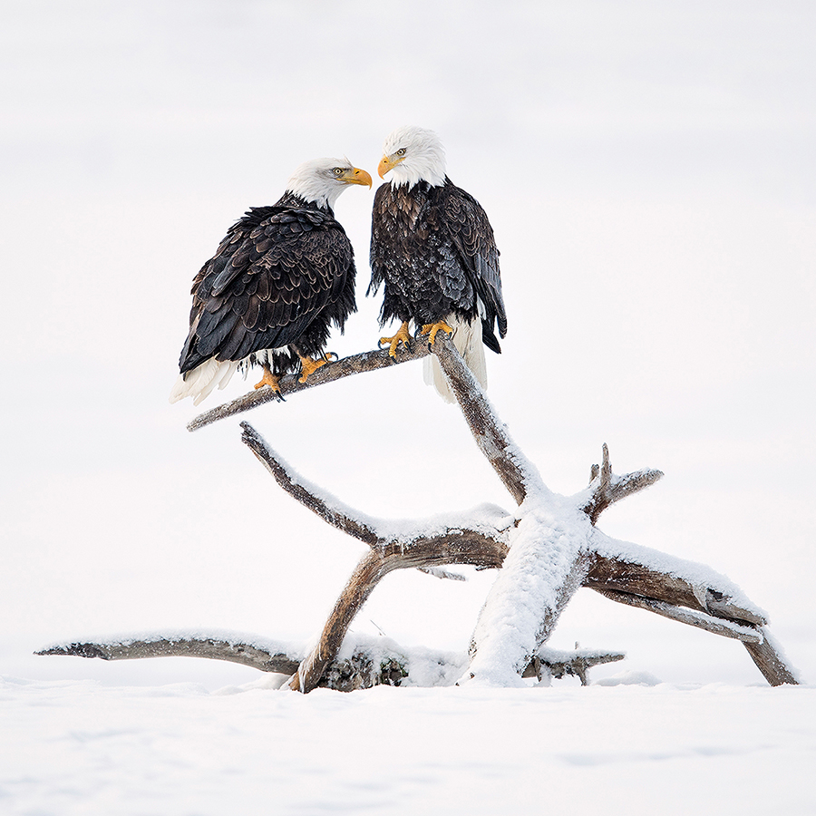 portrait_jory_griesman_bald_eagle_pair_chilkat