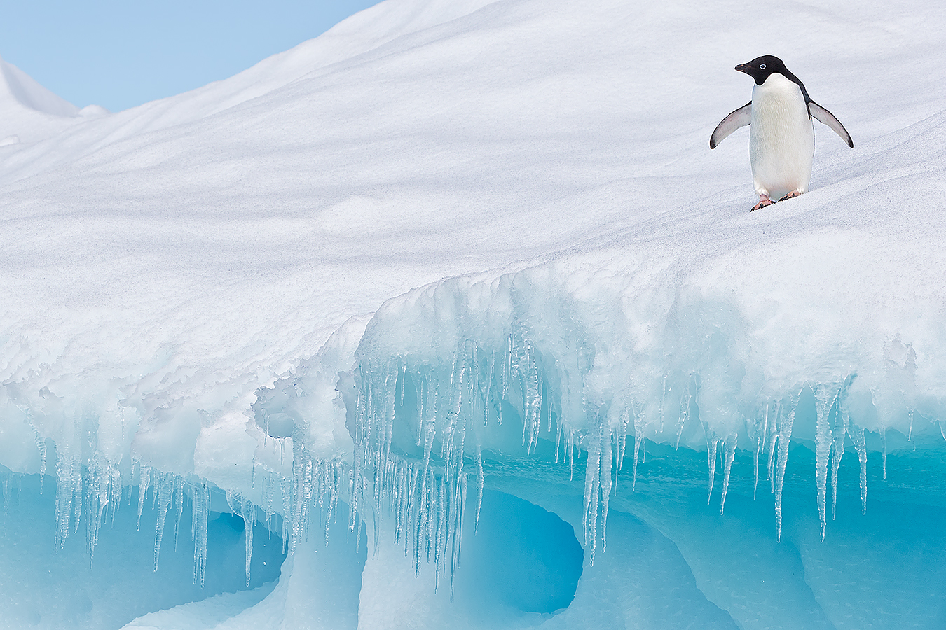 small_clemens-vanderwerf-adelie-penguin-on-iceberg-with-icecles_e7t1693-detaille-lsland-antarctica