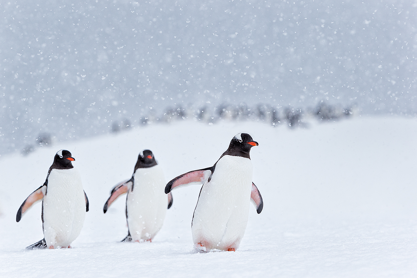small_clemens-vanderwerf-gentoo-penguins-marching-in-the-snow_e7t7502-cuverville-island-antarctica