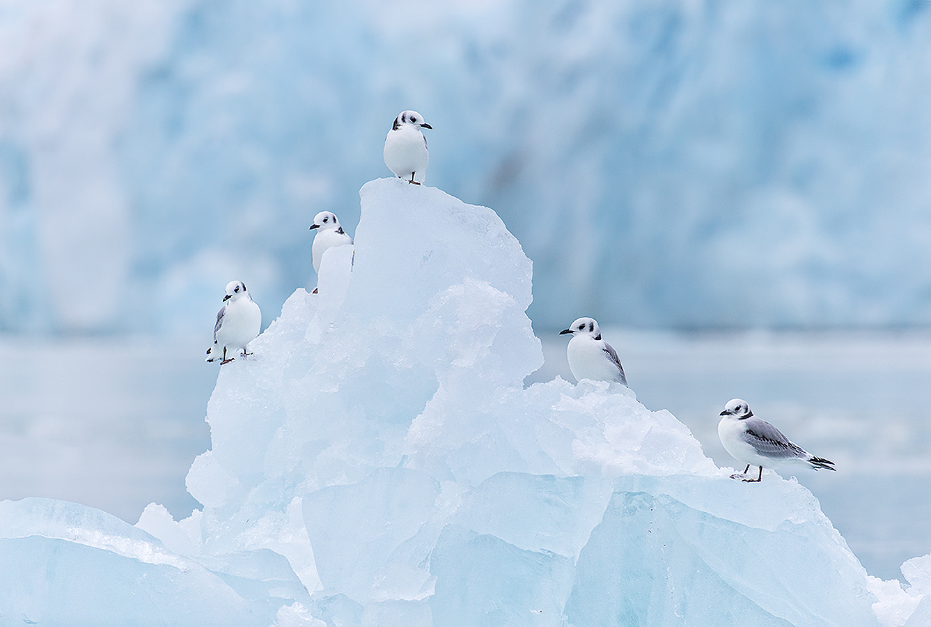small_clemens-vanderwerf-kittiwakes-on-ice-berg-with-glacier-in-bkgd_b8r5647-lilliehookbreen-svalbard-arctic
