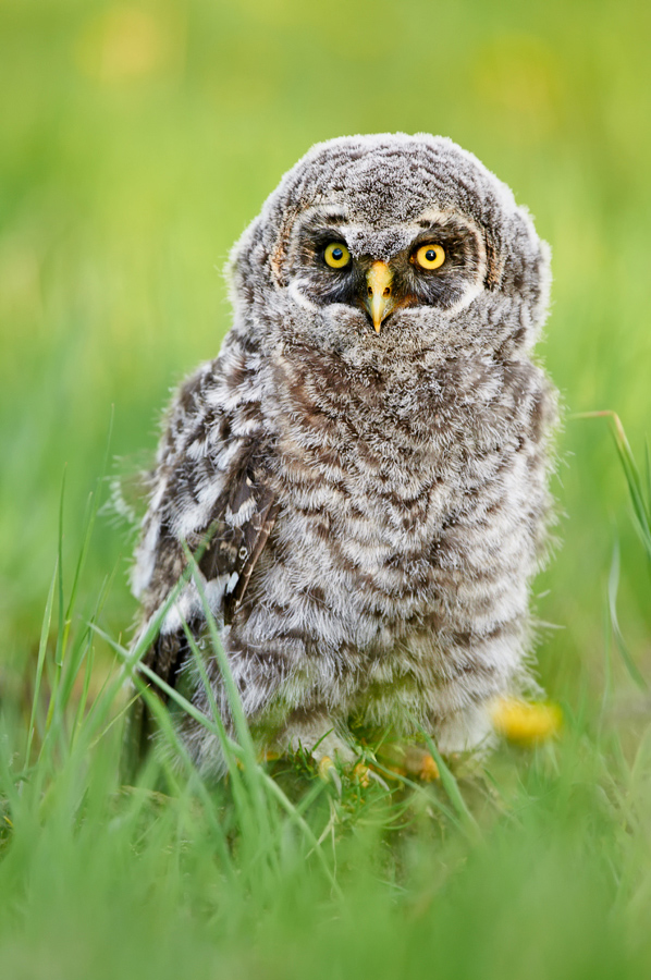 this-one-youth_jenaya-launstein-great-grey-owlet-southern-alberta