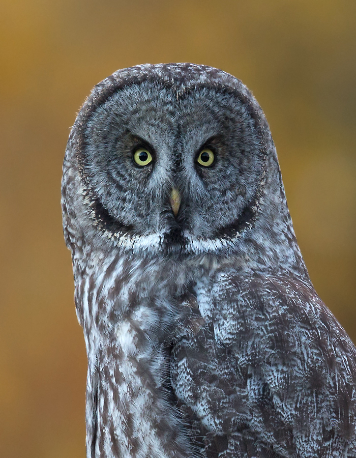 youth_ashleigh-scully-great-gray-owl_wy_3