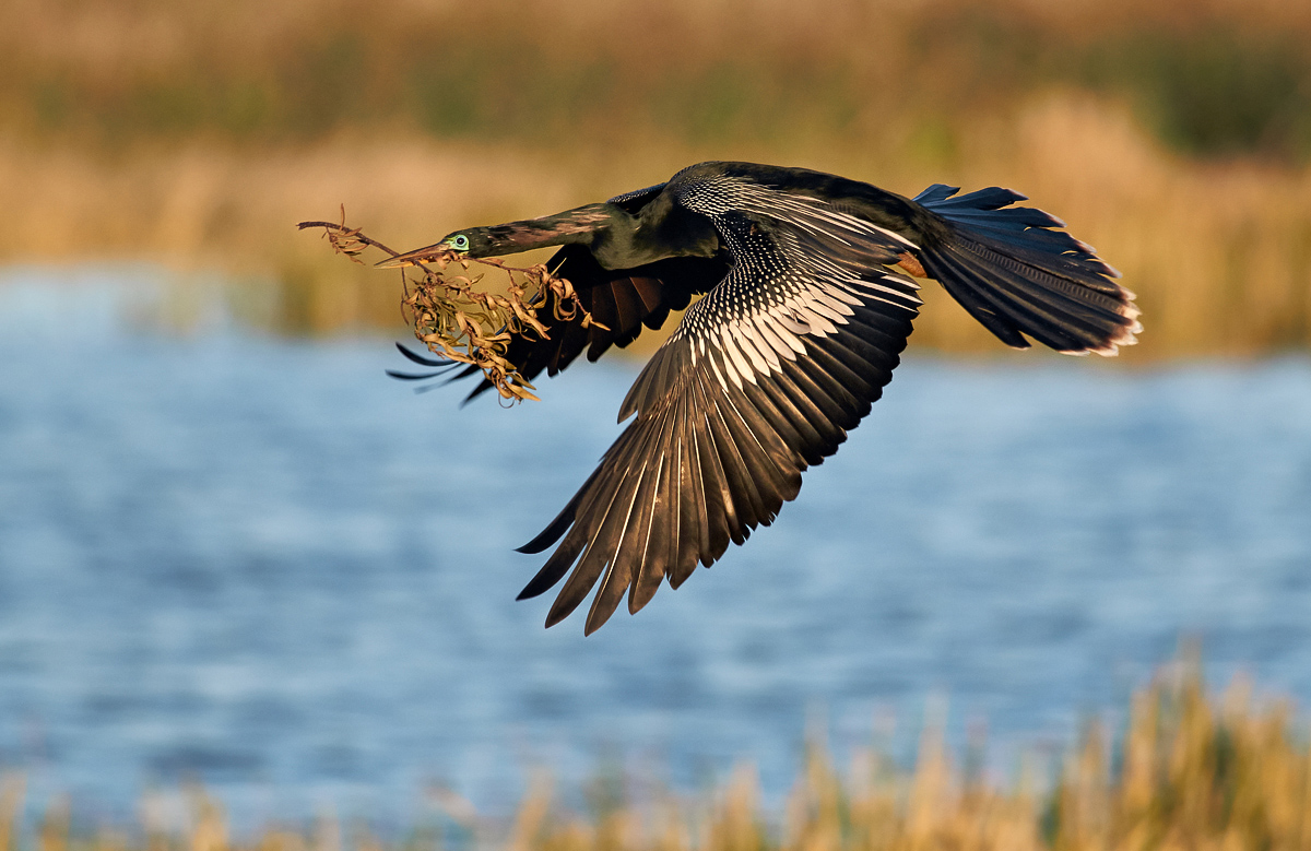 youth_jenaya-launstein-youth-anhinga-in-flight-jcl_dsc7210_1