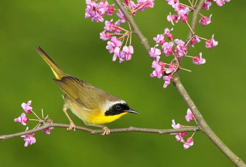 Common Yellowthroat XI