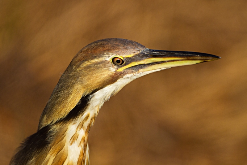 American Bittern Close-up