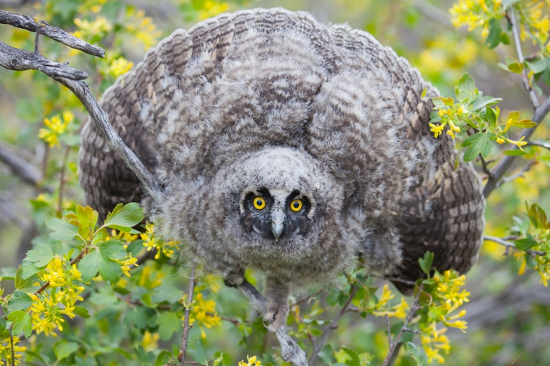 Long-eared Owl 0615